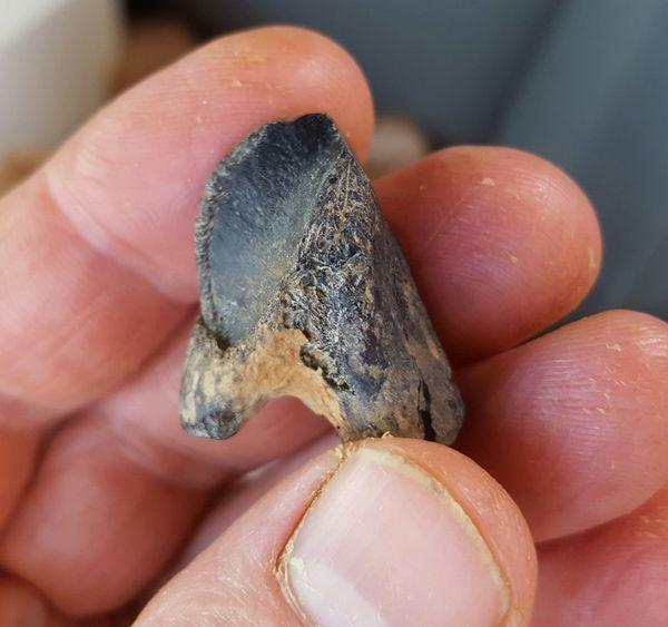 fossilized tooth of a horned dinosaur