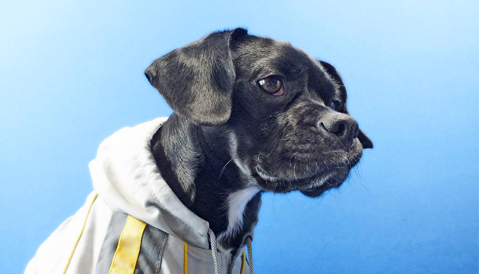 black and white rescue dog in jacket, blue background