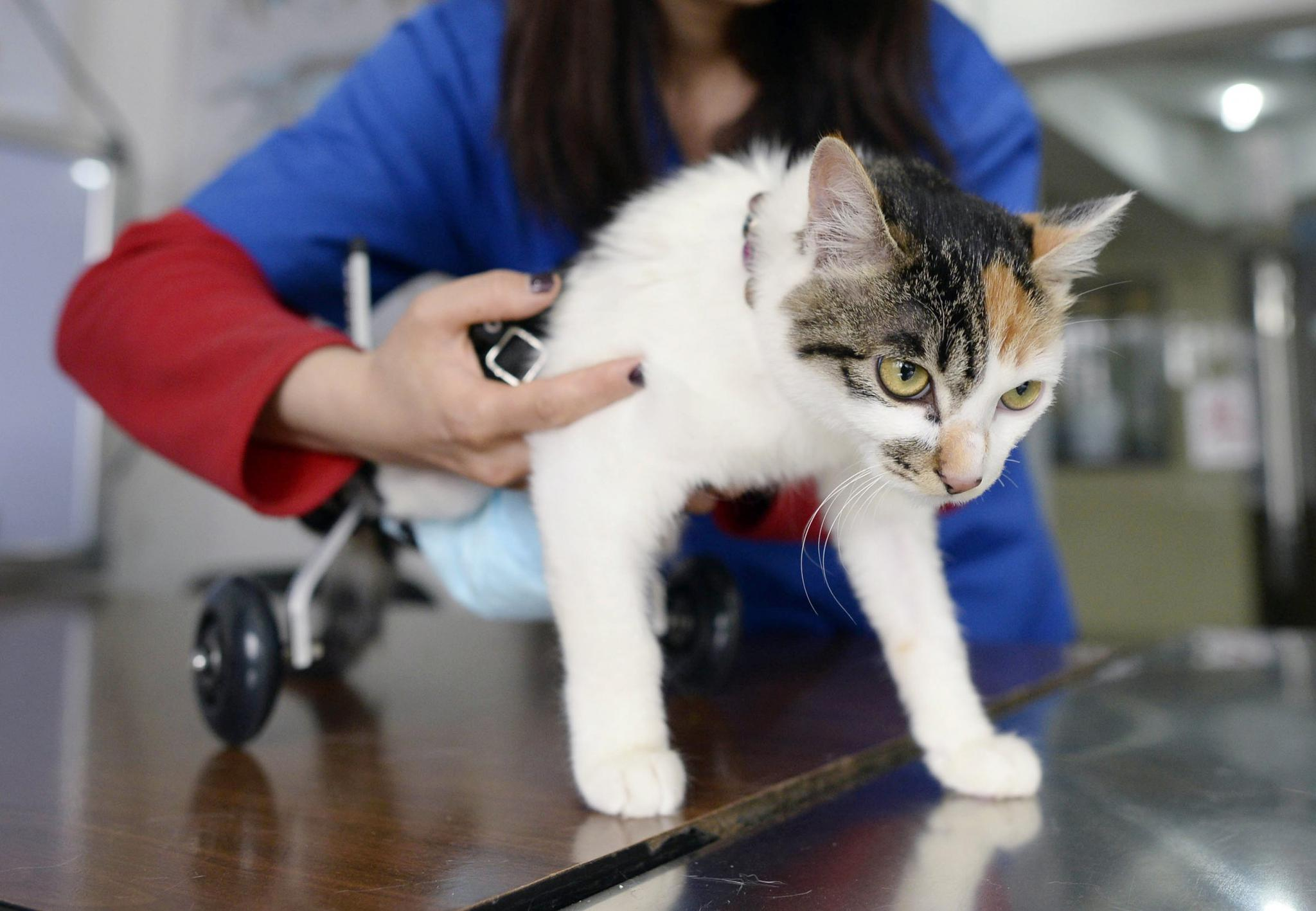 A veterinarian fits an 8-month-old cat in a prosthetic two-wheel device, at a veterinary hospital. Some interns speaking to Newsweek reported unfair working conditions with long hours, little training and, in some cases, abuse.