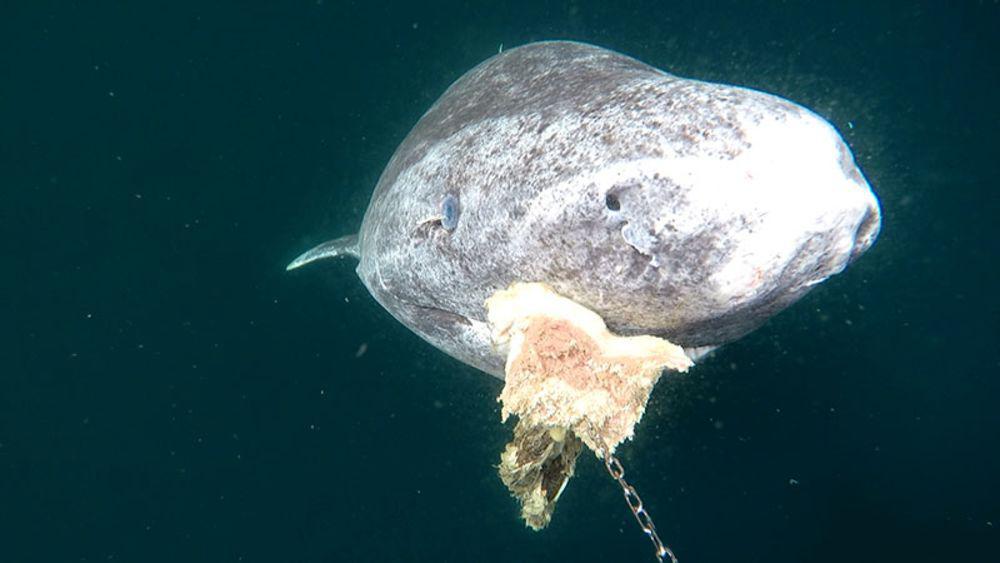 Greenland shark head on