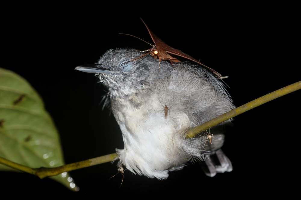 Moth perches on sleeping grey and white bird and sticks its tongue in the bird's eye.
