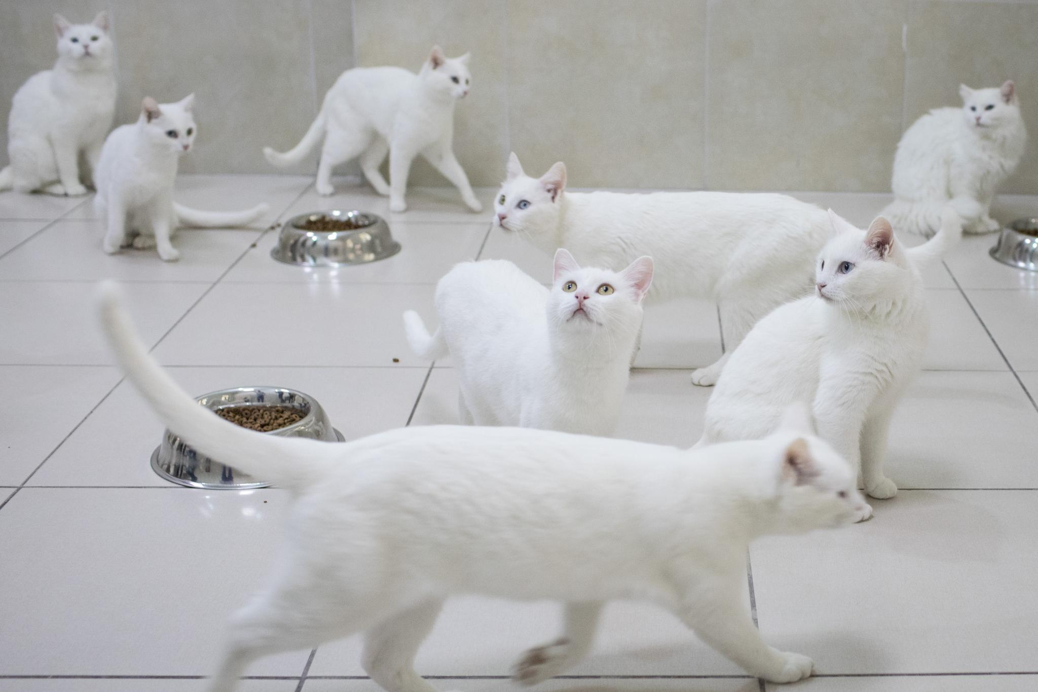 Turkish Van cats eat in their dining room at the Van Cat Research Center on February 8, 2018 in Van, Turkey. Cats aren't used as often to create mouse models of cancer research; these cats are part of a research project to protect their breed from dying out.