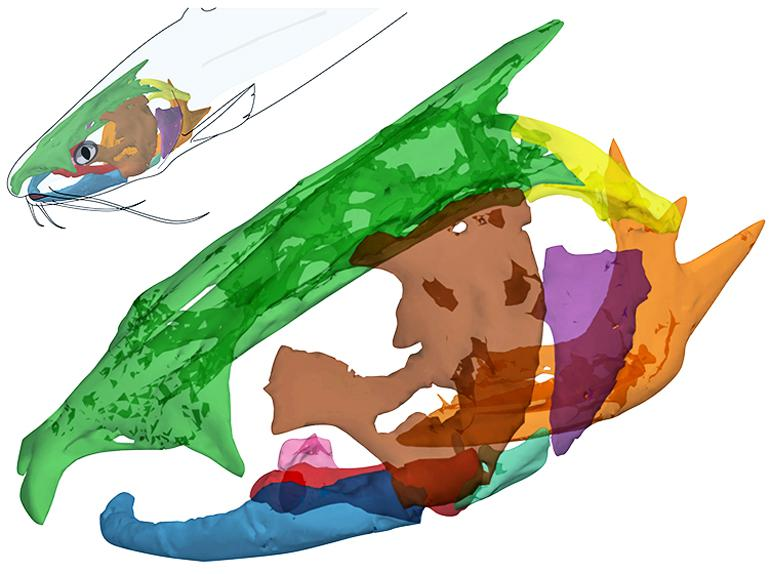 catfish skull image