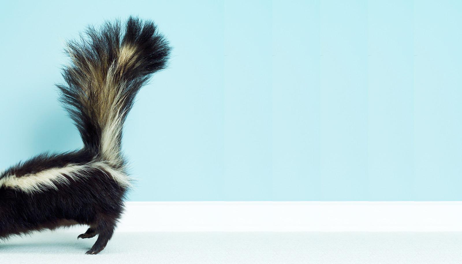 back half of skunk against blue wall - bad smells