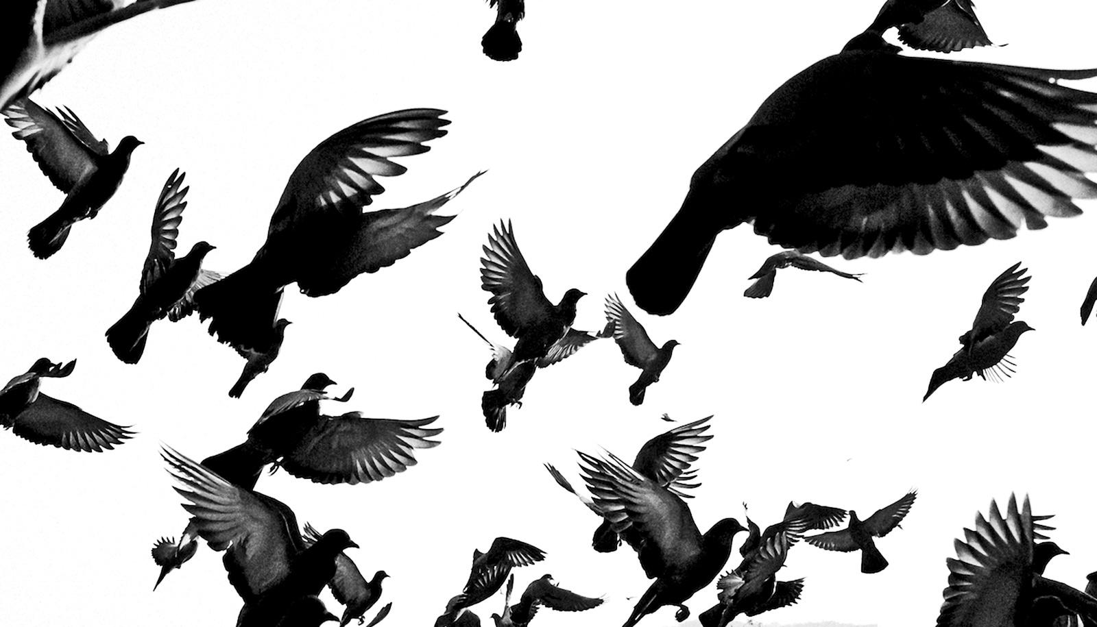 grayscale pigeons