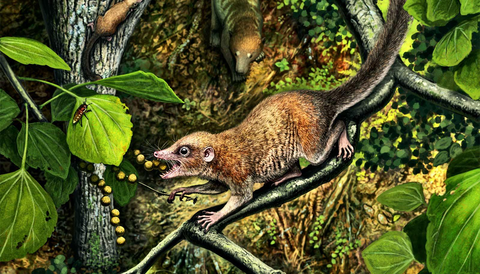 The Purgatorius mckeeveri has beady eyes, a rat-like face with small teeth, and a long bushy tail