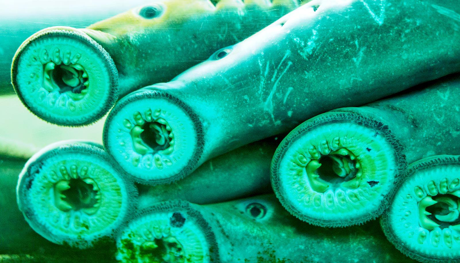 Lampreys on glass