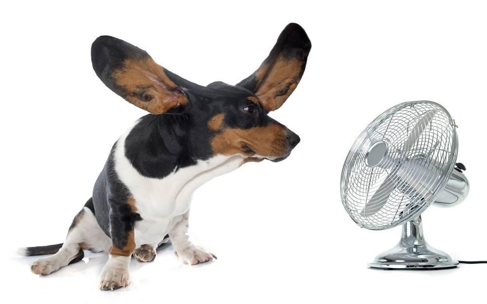 Basset hound in front of fan