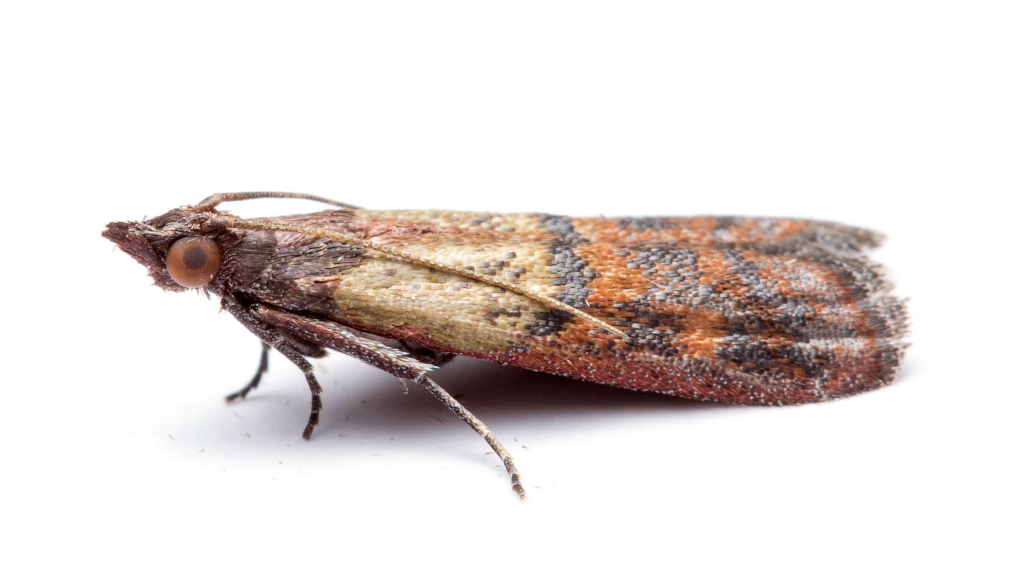 Adult Indian meal moth (Lepidoptera: Plodia interpunctella), a frequent bug found in homes.