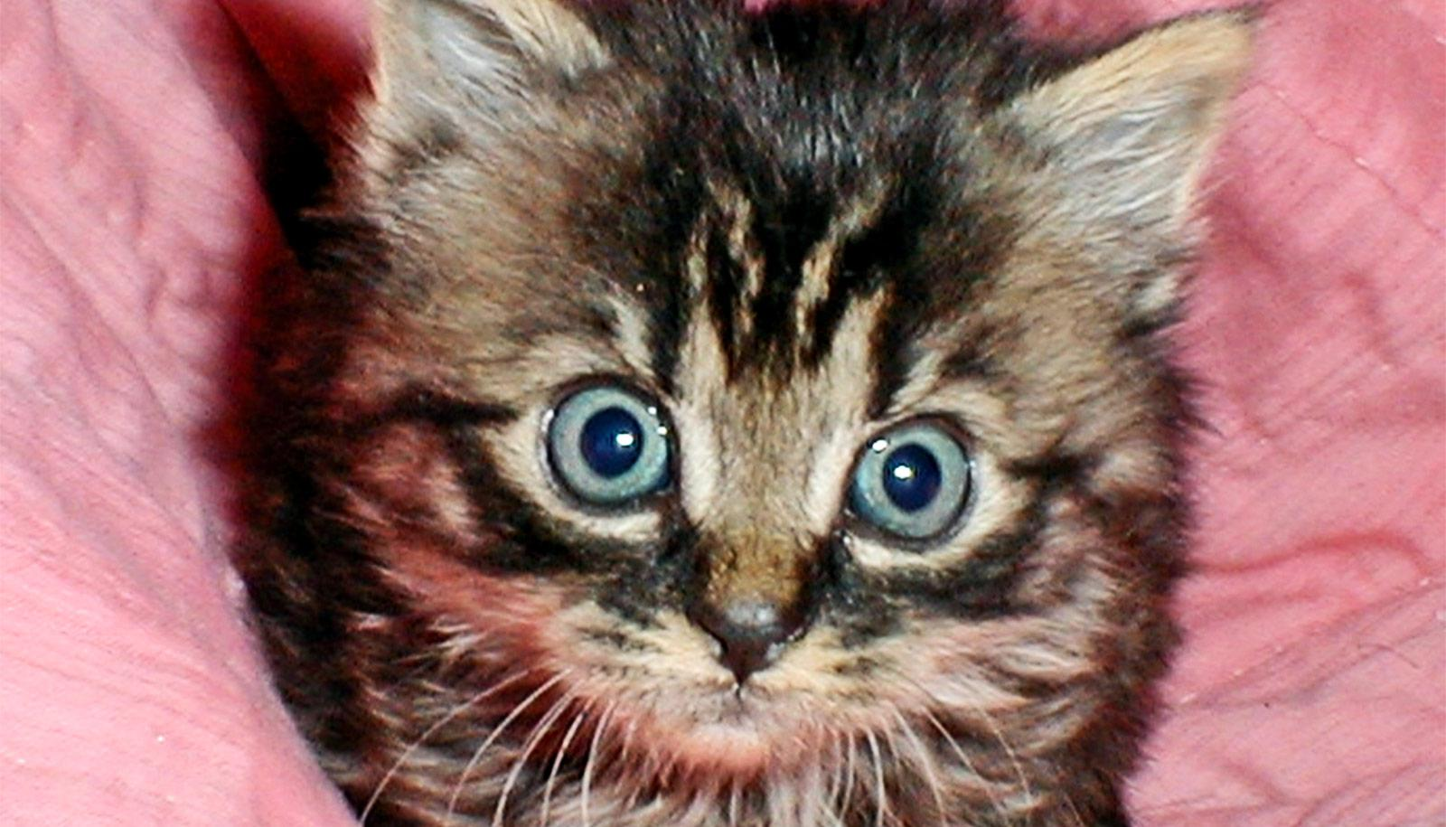 A kitten with blue eyes looks up at the camera