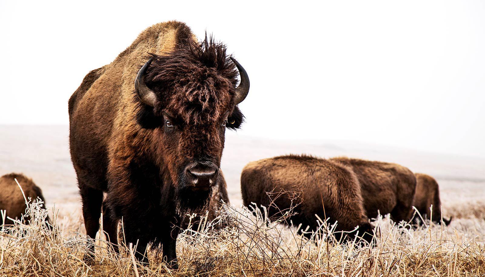 bison group eating