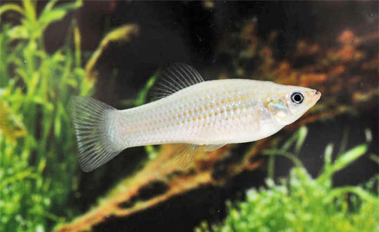 Amazon molly fish