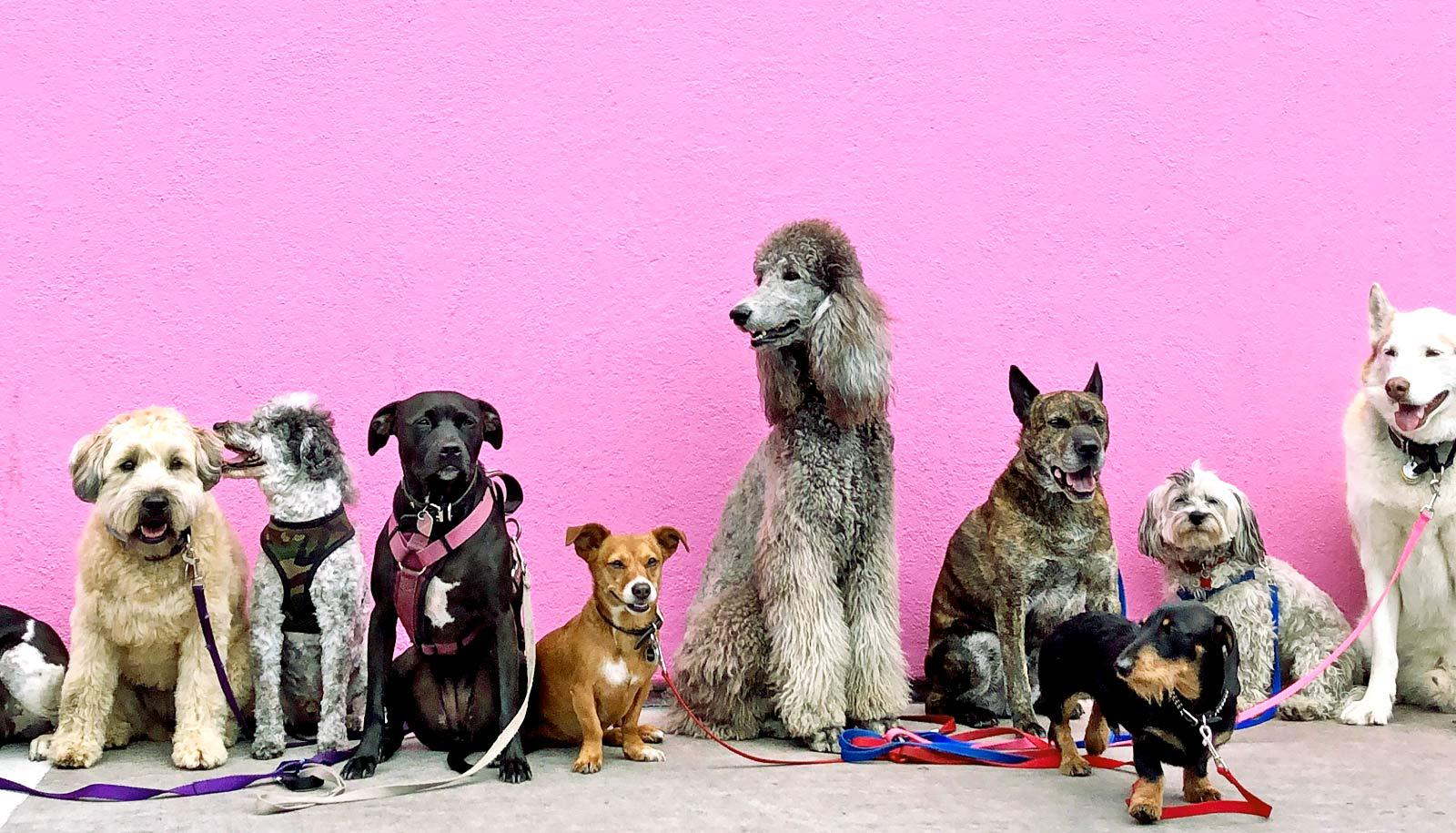 bigger dogs and smaller dogs against pink wall