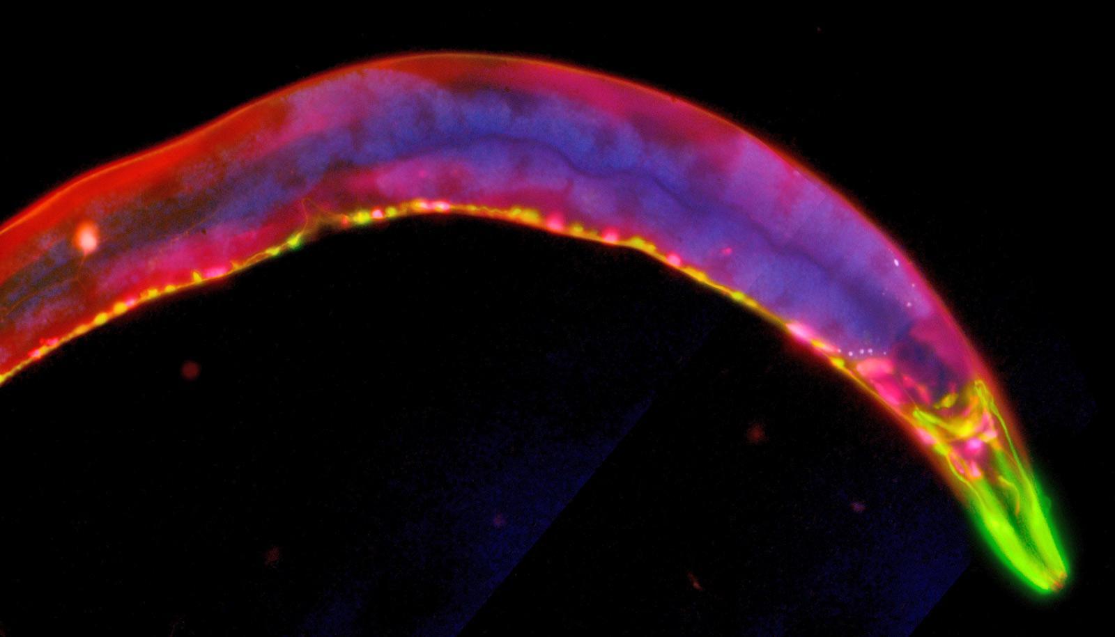 c. elegans worm on black