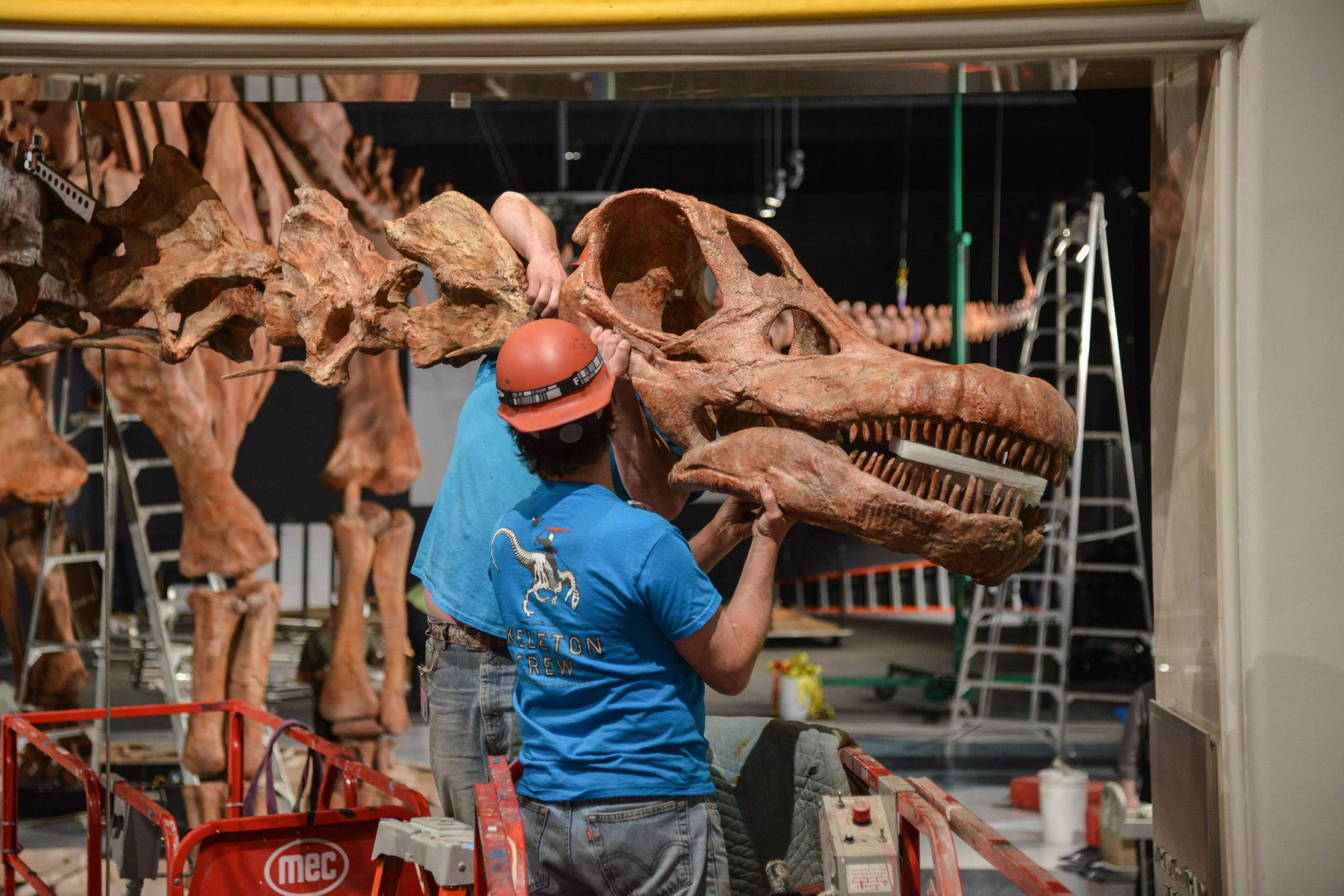 Research Casting International (RCI) installs the titanosaur cast in the Miriam and Ira D. Wallach Orientation Center at the American Museum of Natural History.