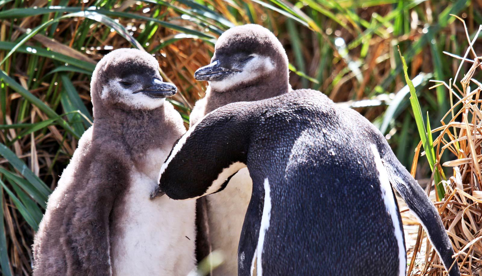 penguin parent and two chicks