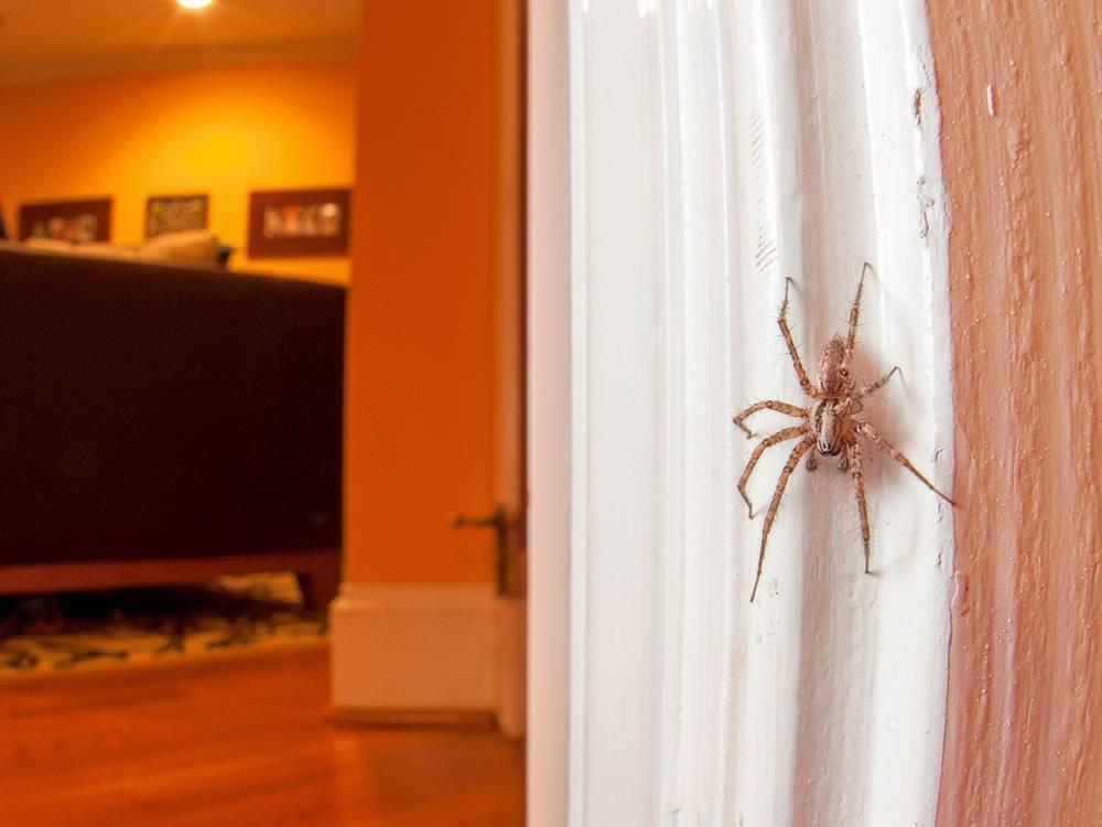 household spider