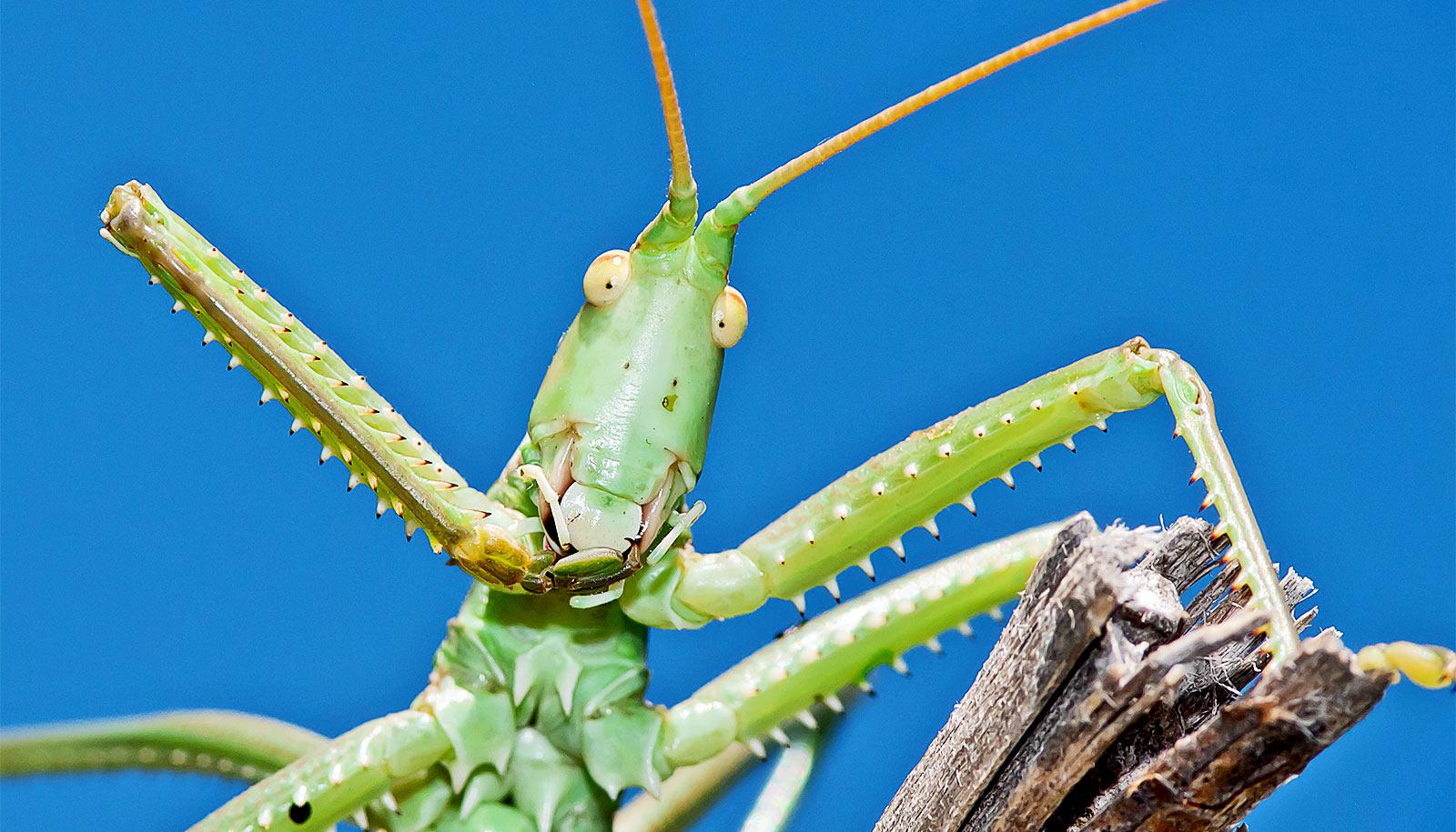 A green cricket against a blue background