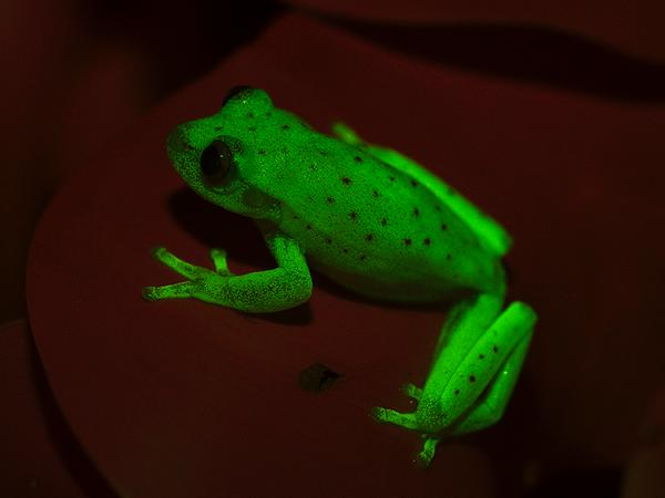 Fluorescent tree frog