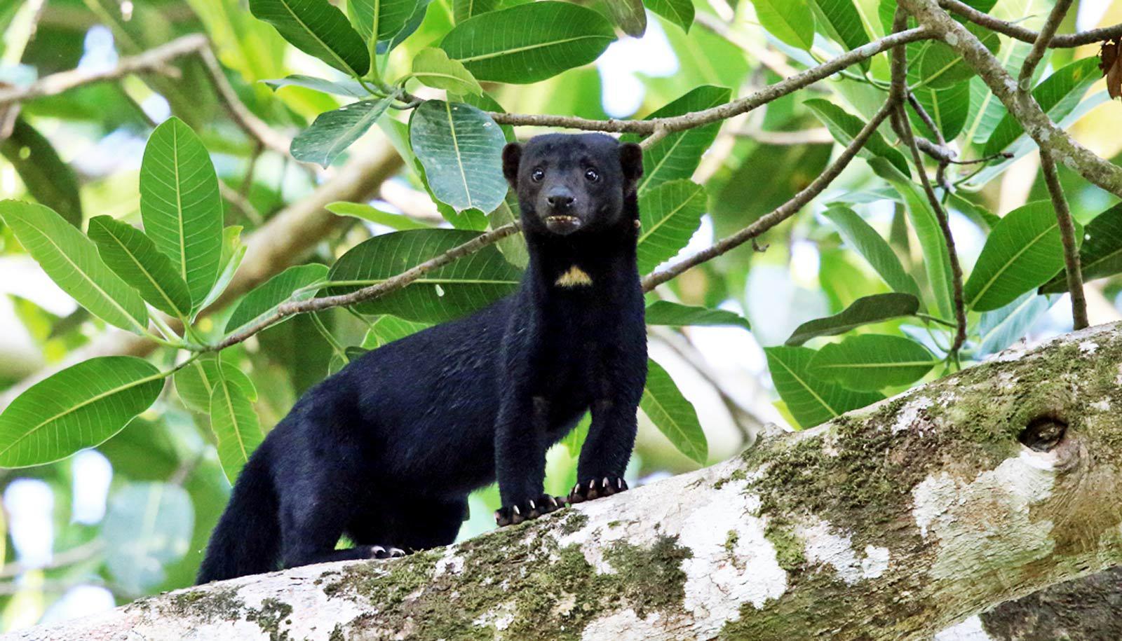 tayra - black weasel-ish creature