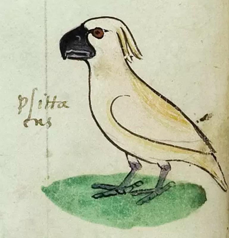 cockatoo from manuscript