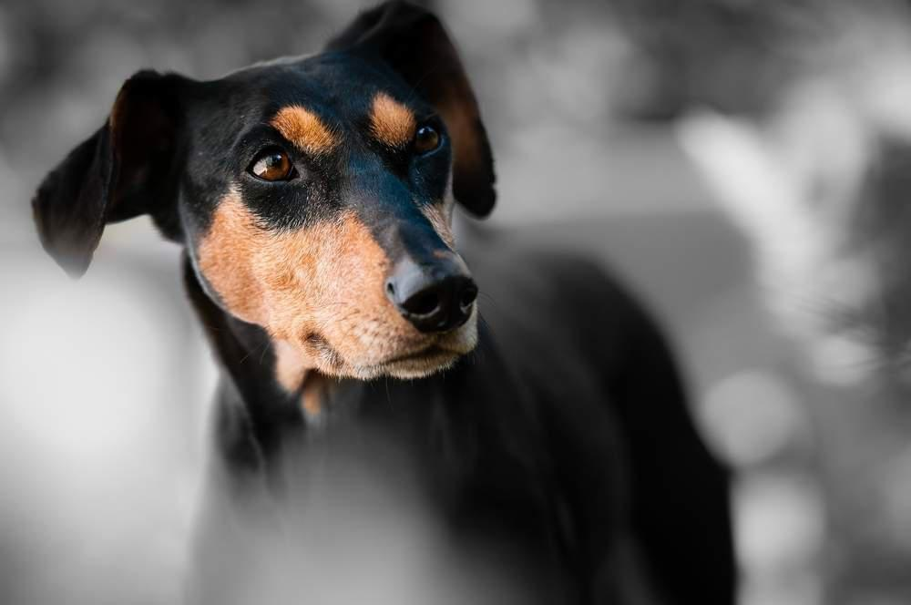 dog facial expression doberman pinscher