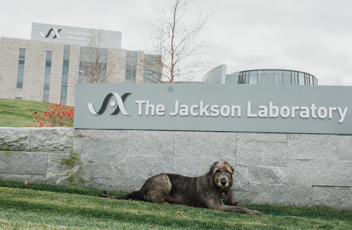 Patrick, a healthy Irish Wolfhound, donated blood as part of a new canine cancer research project at The Jackson Laboratory.
