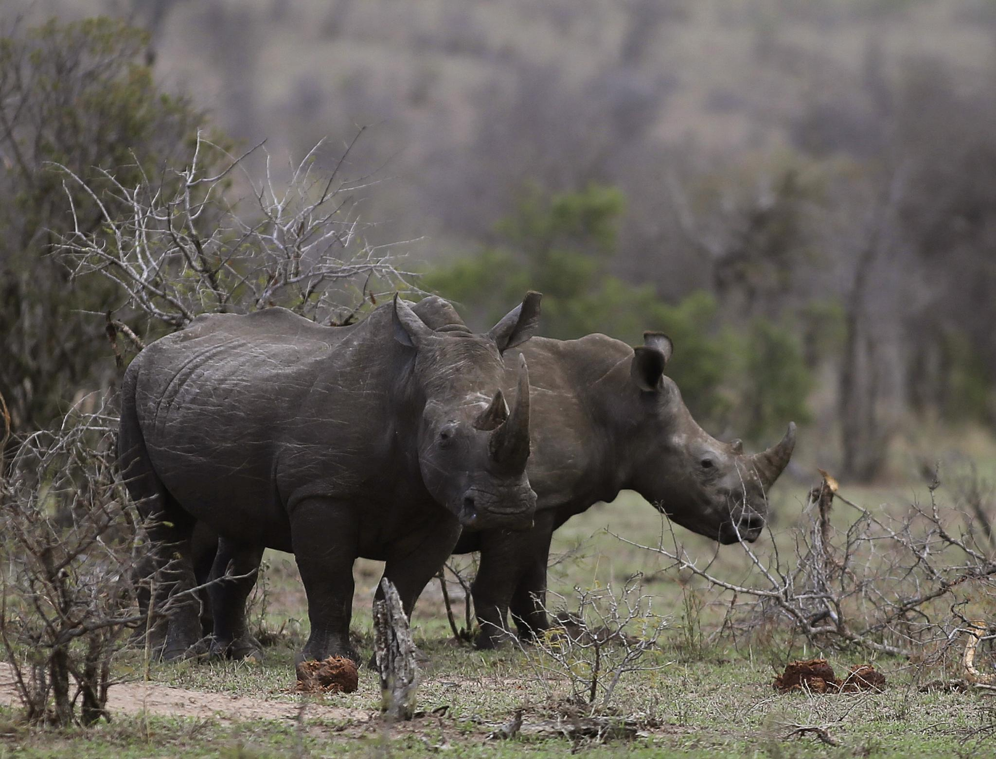 Rhinos graze in the bush on the edge of Kruger National Park in South Africa, October 1. In South Africa, rhinos are worth more dead than alive.