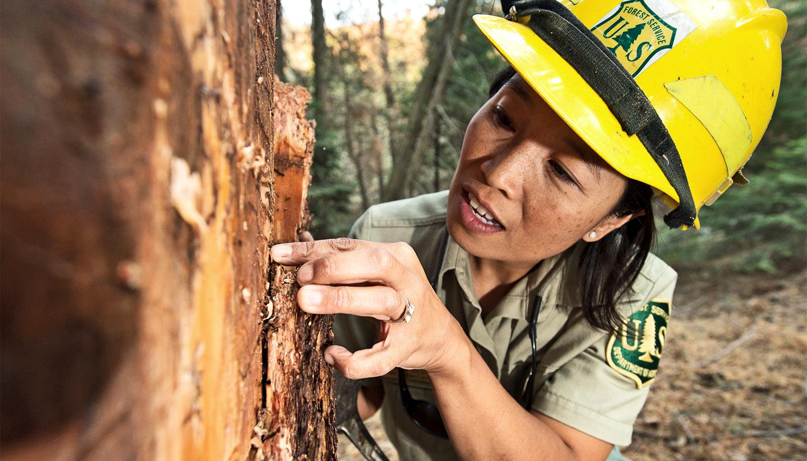 A forest worker examines a dead tree up close